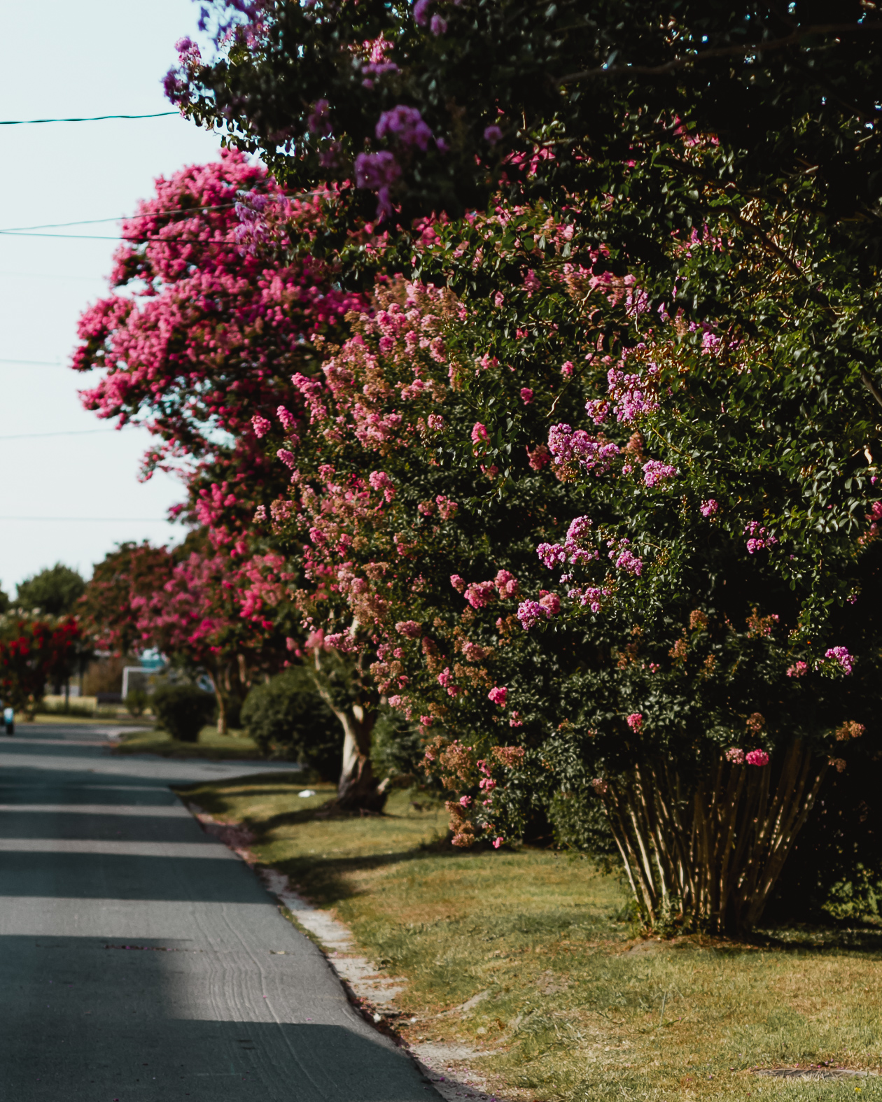 crepe myrtles of Cape Charles, Virginia
