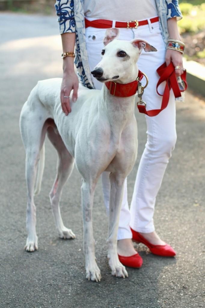 Barnabas the greyhound