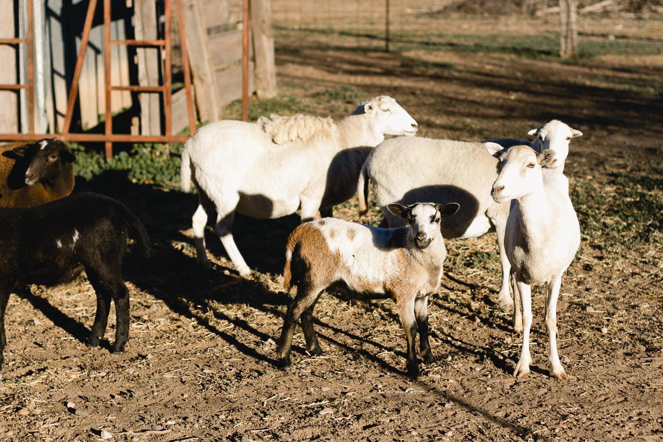 New Mexico sheep